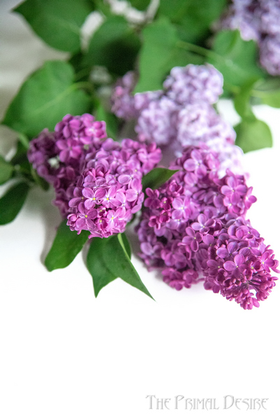 Purple lilacs on white table