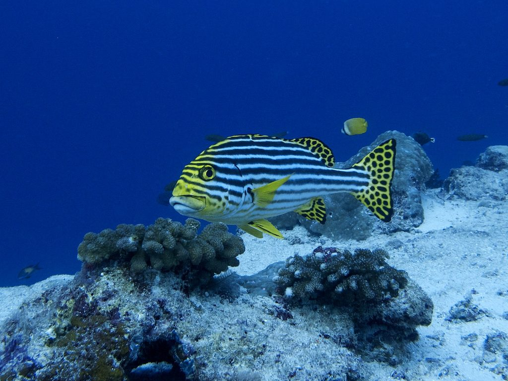 Oriental Sweetlips aka the
