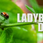 The Ladybug Diet - How to care for ladybugs and other facts about ladybugs. Did you know that ladybugs eat spider mites and ladybugs eat aphids?